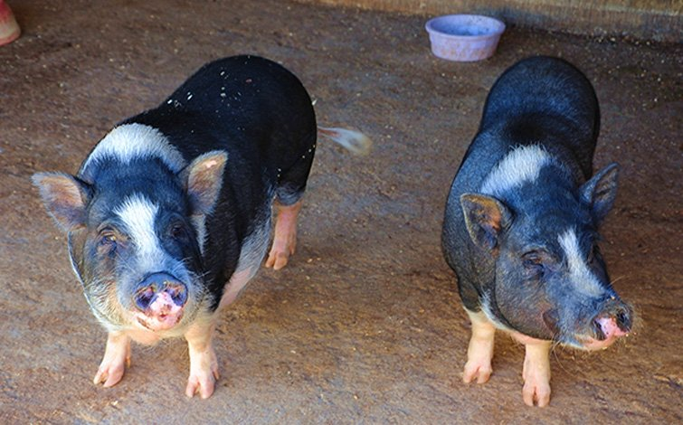 Potbelly Pigs